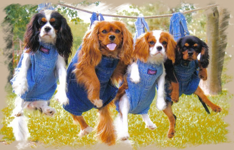 Cavalier King Charles Spaniel Puppies Breeders Dallas Fort Worth Texas